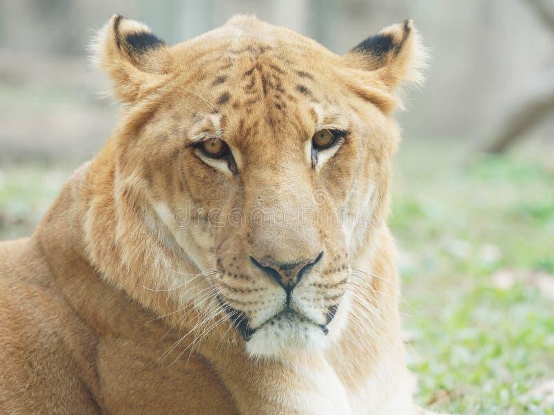 Zamyka w górę portreta liger z przykrością, lwa i tygrysa hybryd, nazwany liger, spojrzenia fotografia stock