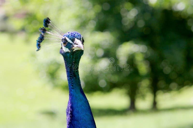 Zamyka w górę portreta paw, swój błękitny upierzenia kontrastowanie obraz stock