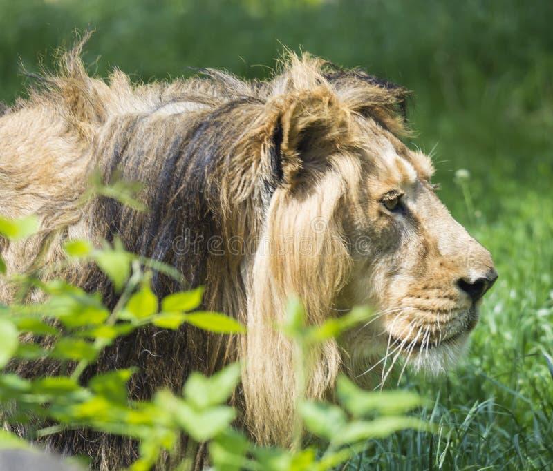 Zamyka w górę portreta w profilu głowa Asiatic lwa, Panthera Leo persica, chodzi w trawie królewiątko bestie obrazy royalty free