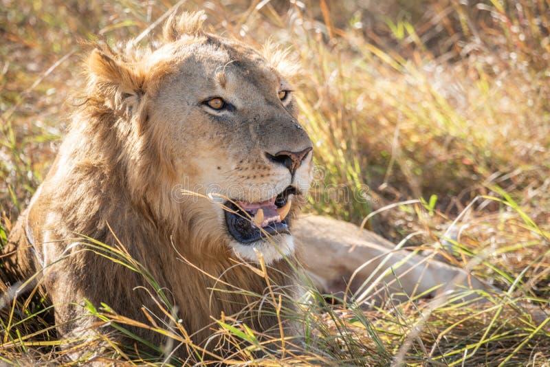 Zamyka w górę profilowego portreta młody dorosłej samiec lew z wysoką trawą wokoło jego backlit głowy fotografia stock