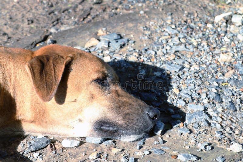 Zamyka w górę psiej głowy Moczy up słońce, Brown Tajlandzki Ridgeback psi brown azjata, pies jest sypialnym lying on the beach fotografia stock