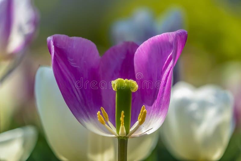 Zamyka w górę purpurowego tulipanu z widokiem swój odtwórczy organy obraz royalty free