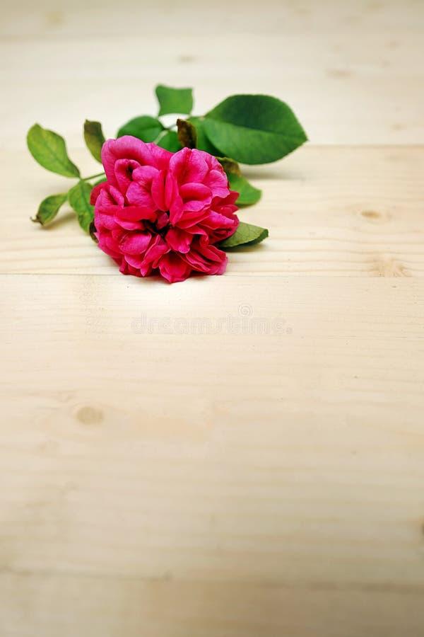 Zamyka W górę Pyzatego menchii róży kwiatu fotografia stock