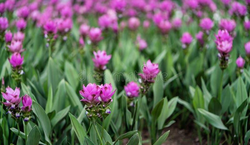 Zamyka w górę różowego Siam tulipanu z zielonym liściem fotografia royalty free