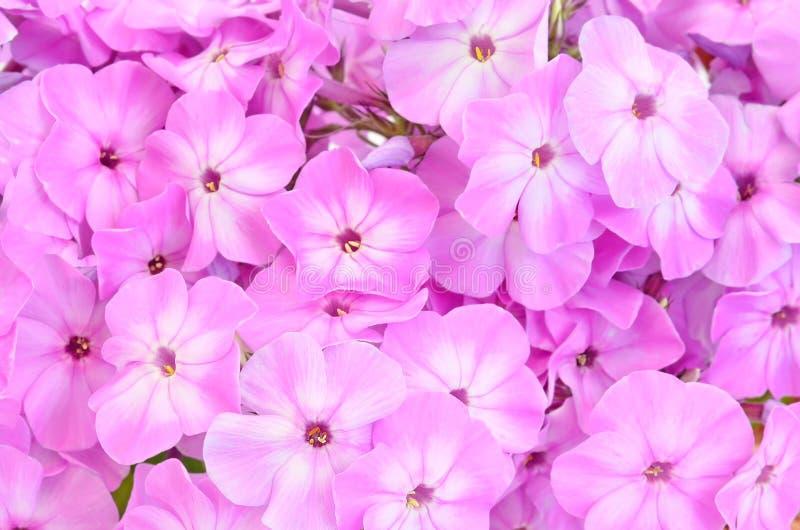 Zamyka w górę różowych floksów kwiatów fotografia stock