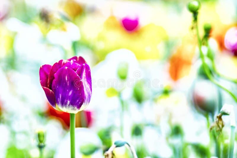 Zamyka w górę rocznik fotografii fiołkowy tulipan, makro- strzał pączek w ogródzie Ja jest pi?knym natury t?em z kwiatem i zamazu zdjęcie stock