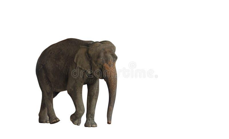 Zamyka w górę ruchu Odizolowywającego na Białym tle Azjatycki słoń zdjęcie stock