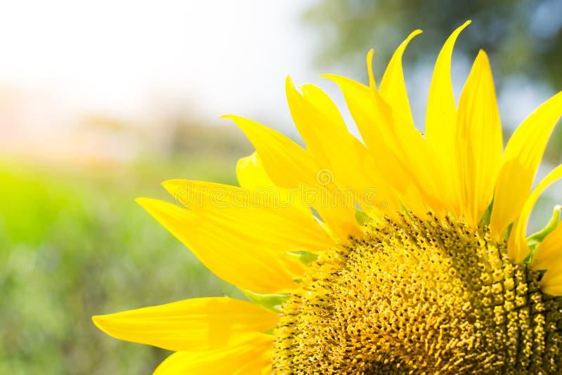 Zamyka w górę słonecznika w kwitnieniu w polu, słoneczników tła fotografia stock