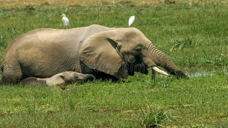 Zamyka w górę słonia i łydki karmienia w bagnie przy amboseli obrazy stock