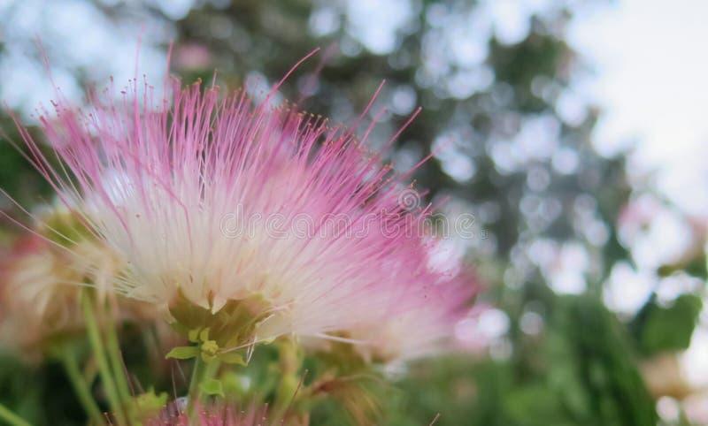 zamyka w górę samanea kwiatu zdjęcie royalty free