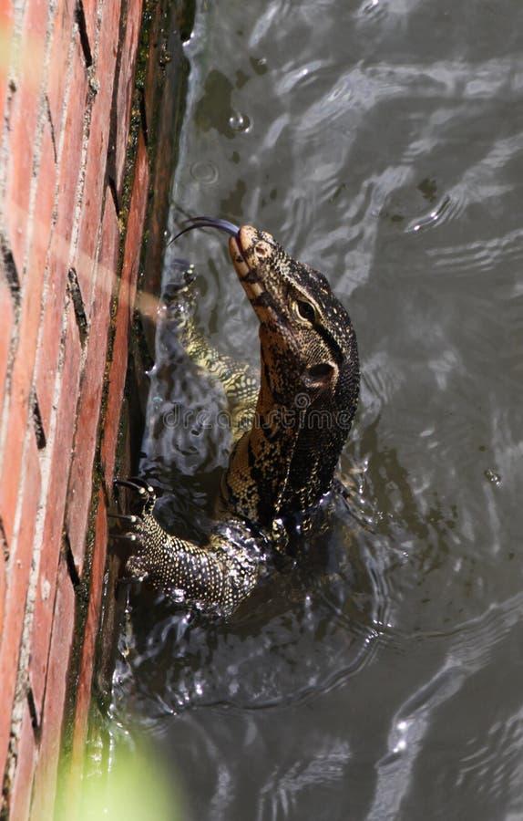 Zamyka w górę Sian wodnego monitoru jaszczurki Varanus salvator wspinaczkowego w górę ściany z cegieł od Bangkok rzeki, Tajlandia obrazy stock