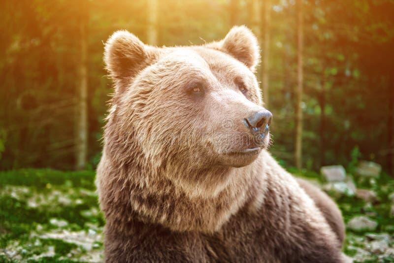 Zamyka w górę strzału dziki duży męski brown niedźwiedź fotografia stock