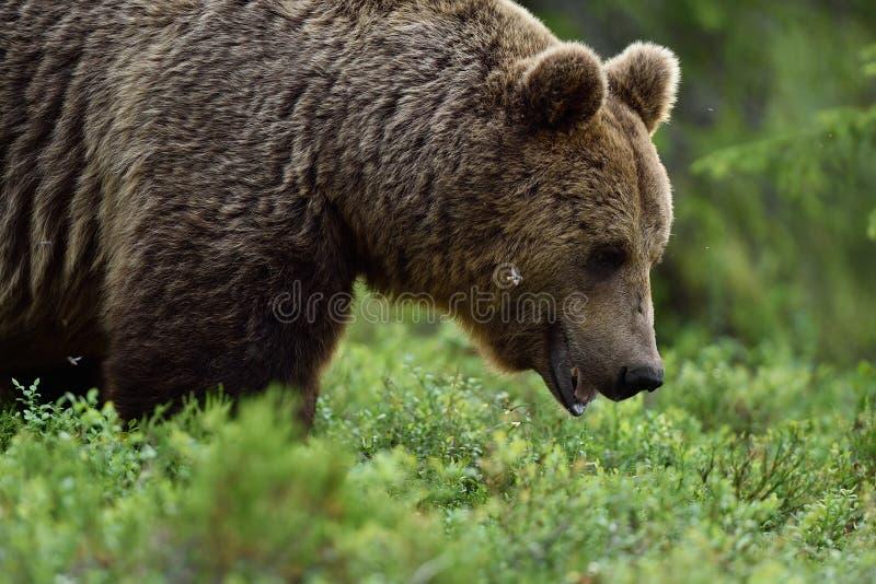 Zamyka w górę strzału dziki męski brown bea zdjęcie royalty free