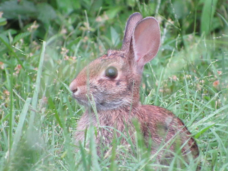 Zamyka w górę strzału młody królik fotografia royalty free