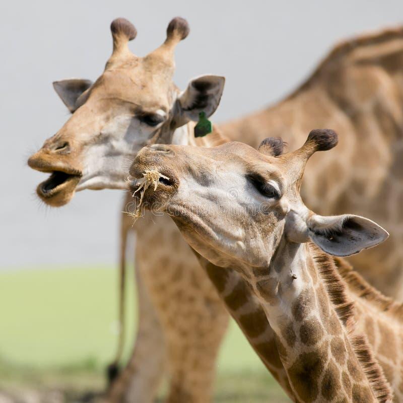 Zamyka w górę strzału pary żyrafy głowa obraz royalty free