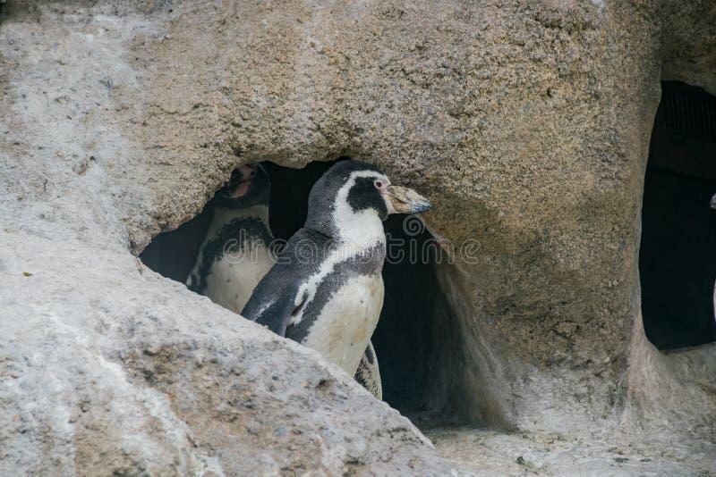 Zamyka w górę strzału pingwin zdjęcie stock