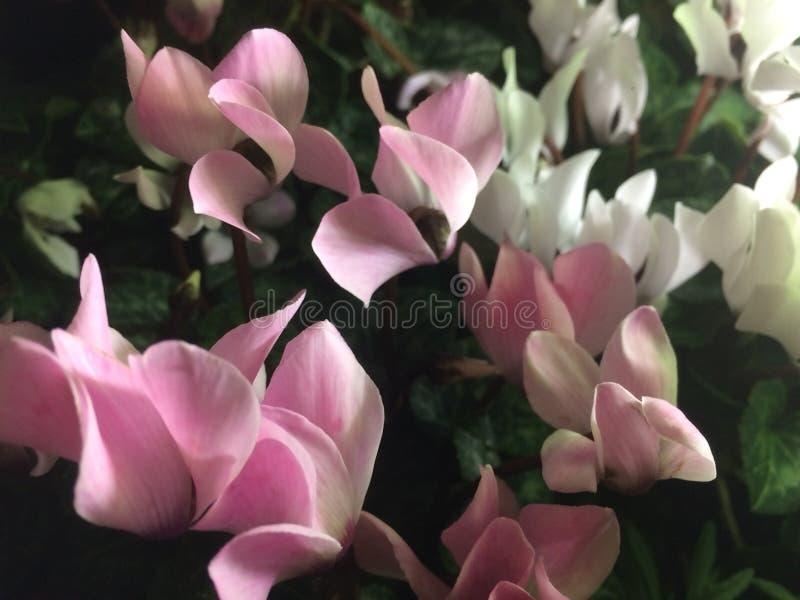 Zamyka w górę strzału różowi i biali kwiaty obraz stock