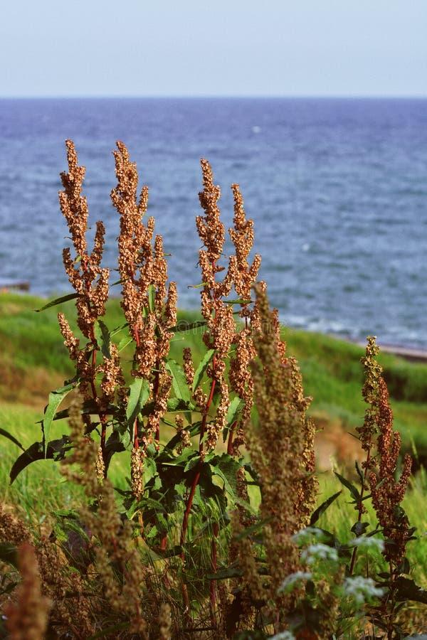 Zamyka w górę strzału sucha uprawy roślina z i błękitny morze w tle ziarnami i trawą zdjęcia stock