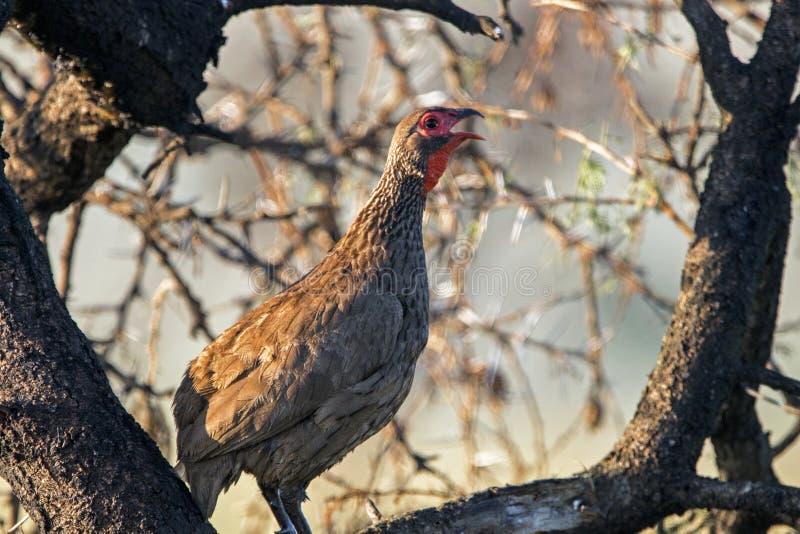 Zamyka w górę Swainsons Francolin ptaka Umieszczającego w drzewie zdjęcia royalty free