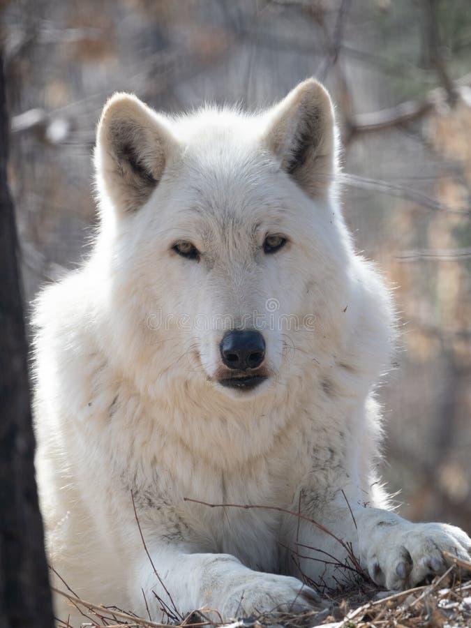 Zamyka W górę Szarego wilka Patrzeje kamerę fotografia royalty free