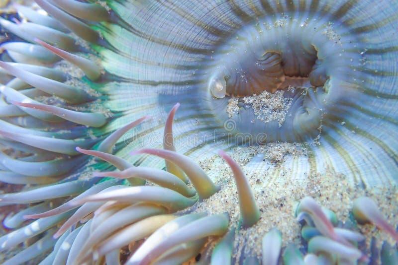 Zamyka W górę szczegółu Podwodnego Dennego anemonu zdjęcia stock