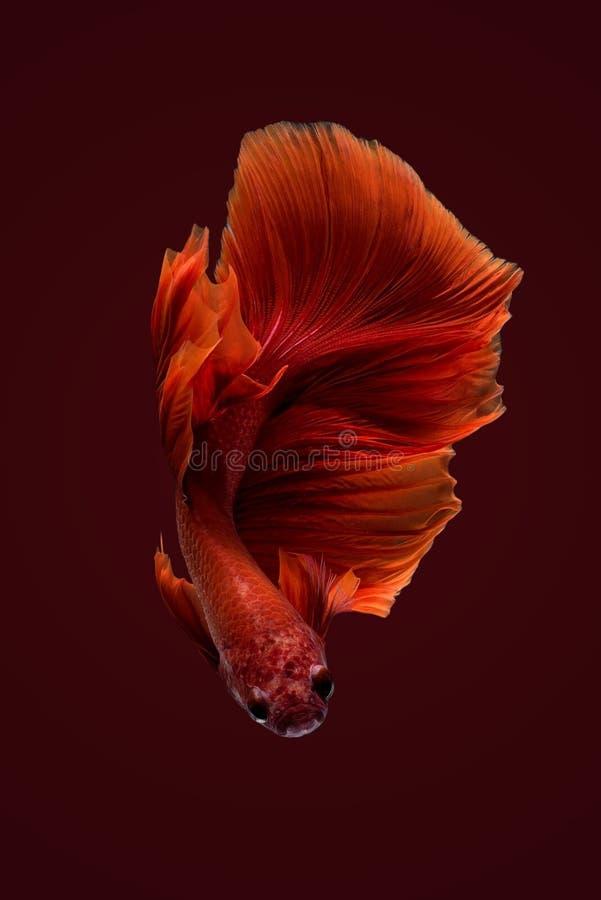 Zamyka w górę sztuka ruchu Betta ryba obraz stock