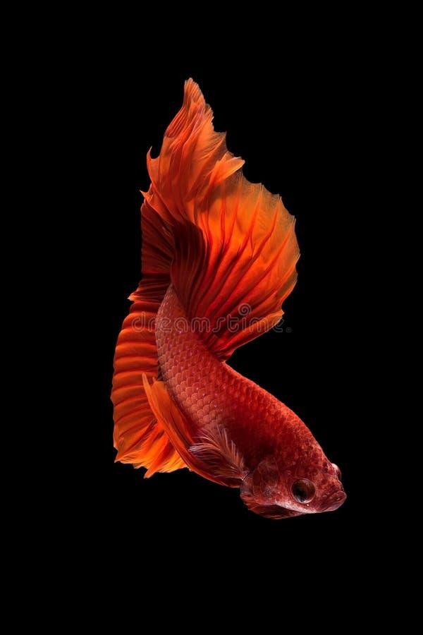 Zamyka w górę sztuka ruchu Betta ryba zdjęcie royalty free