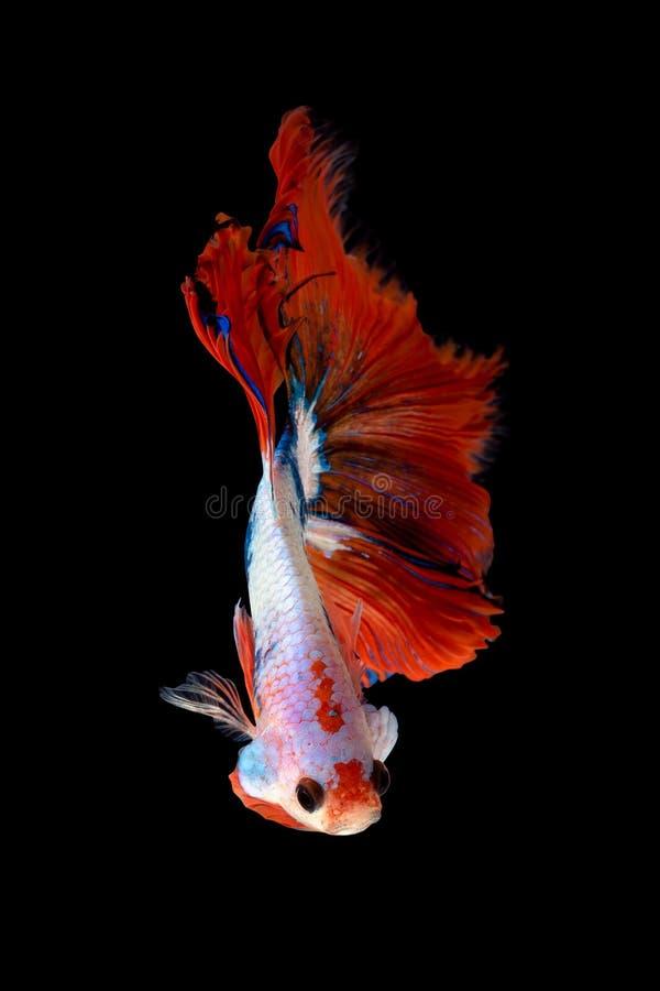 Zamyka w górę sztuka ruchu rybiego Betta lub Syjamska bój ryba odizolowywająca na czarnym tle obraz stock