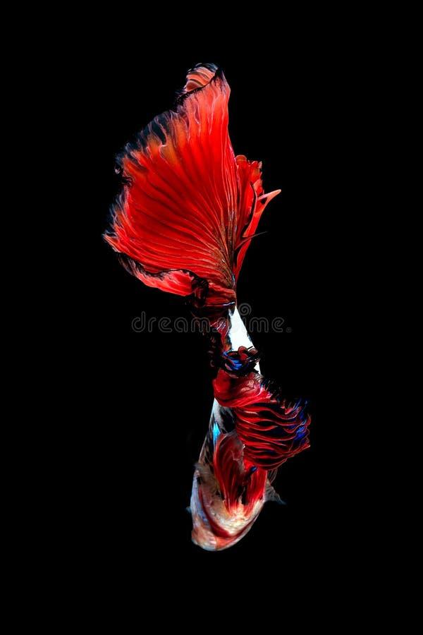 Zamyka w górę sztuka ruchu rybiego Betta lub Syjamska bój ryba odizolowywająca na czarnym tle zdjęcie stock