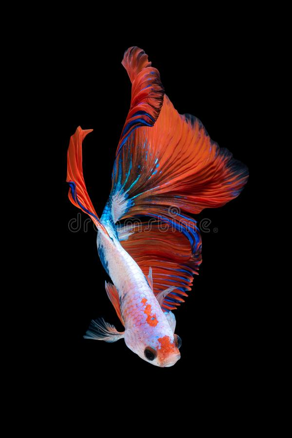 Zamyka w górę sztuka ruchu rybiego Betta lub Syjamska bój ryba odizolowywająca na czarnym tle zdjęcie royalty free