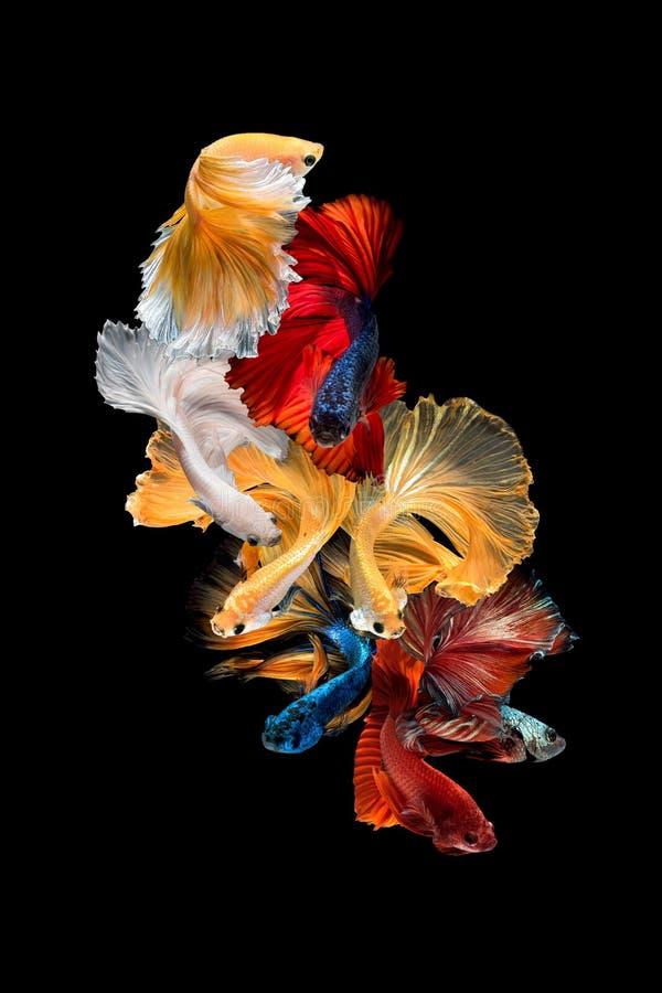Zamyka w górę sztuka ruchu rybiego Betta lub Syjamska bój ryba odizolowywająca na czarnym tle obrazy royalty free