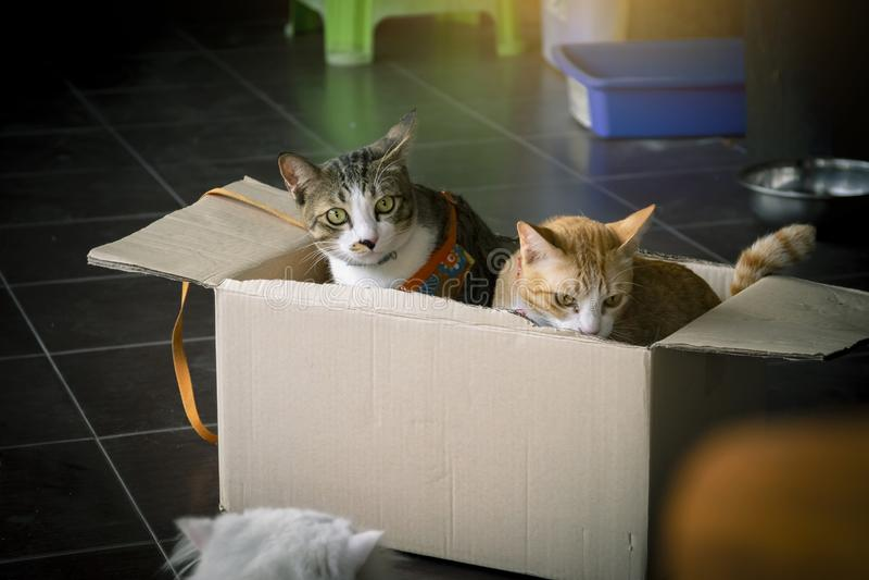 Zamyka w górę tajlandzkiego kota śliczny bawić się w pudełkowatym i zamazanym tle my obrazy stock