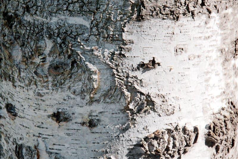 Zamyka w górę tekstury brzozy barkentyny tło zdjęcie stock