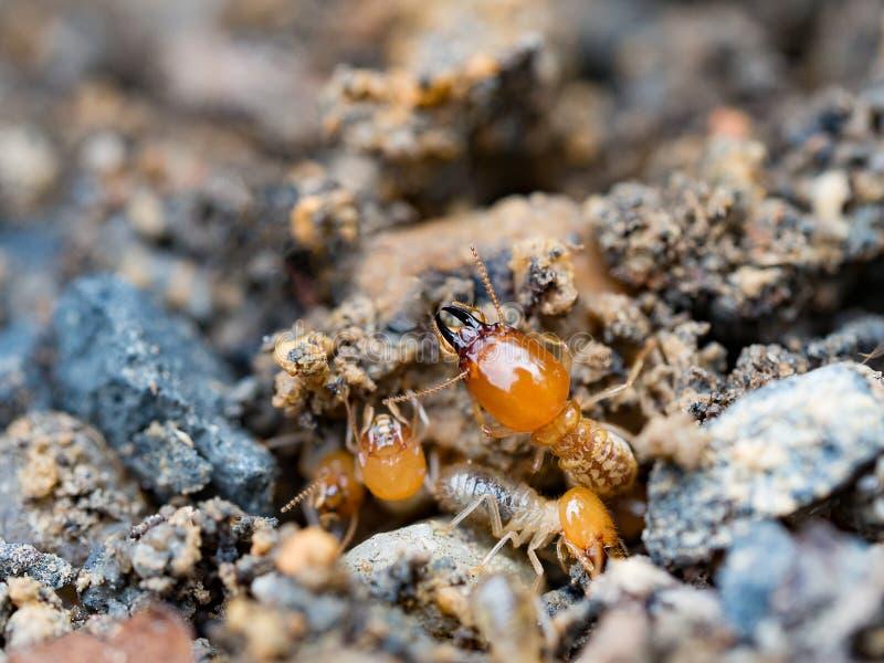 Zamyka w górę termitów lub białych mrówek niszczących fotografia stock