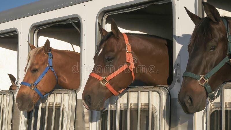 Zamyka w górę trzy koni w przyczepie blisko kwarcytu obrazy royalty free