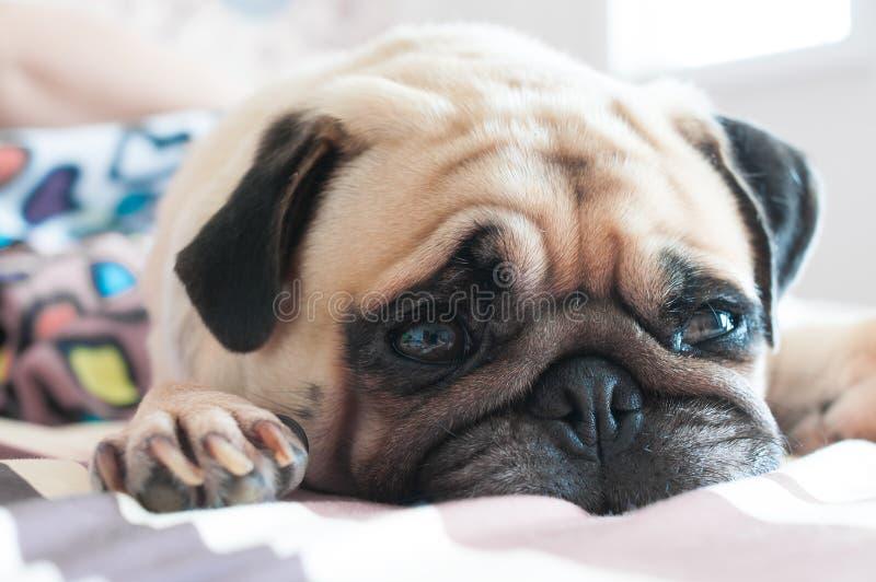 Zamyka w górę twarzy Śliczny mopsa szczeniaka psa dosypianie na łóżku fotografia royalty free