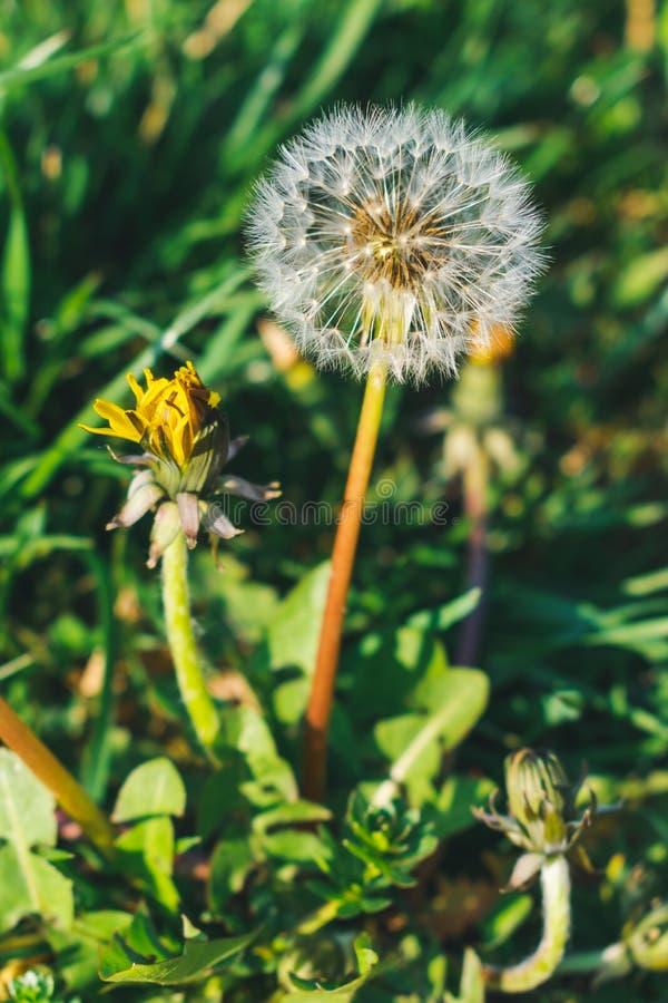 Zamyka w górę widoków dandelions w trawie zdjęcia royalty free