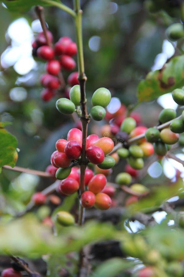 Zamyka w górę widok kawowych fasoli na drzewie obrazy royalty free