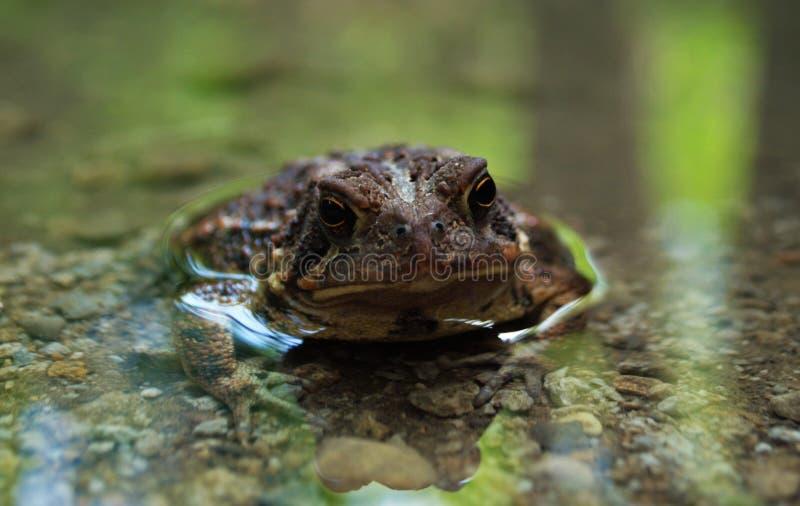 Zamyka w górę widoku żaba w wodzie obraz royalty free