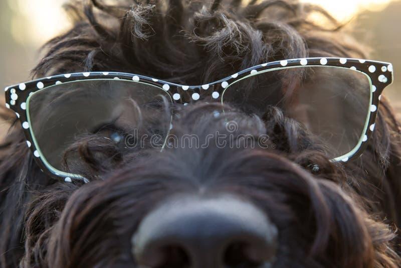 Zamyka w górę widoku czarny owłosiony pies jest ubranym szkła z białymi polek kropkami obraz royalty free