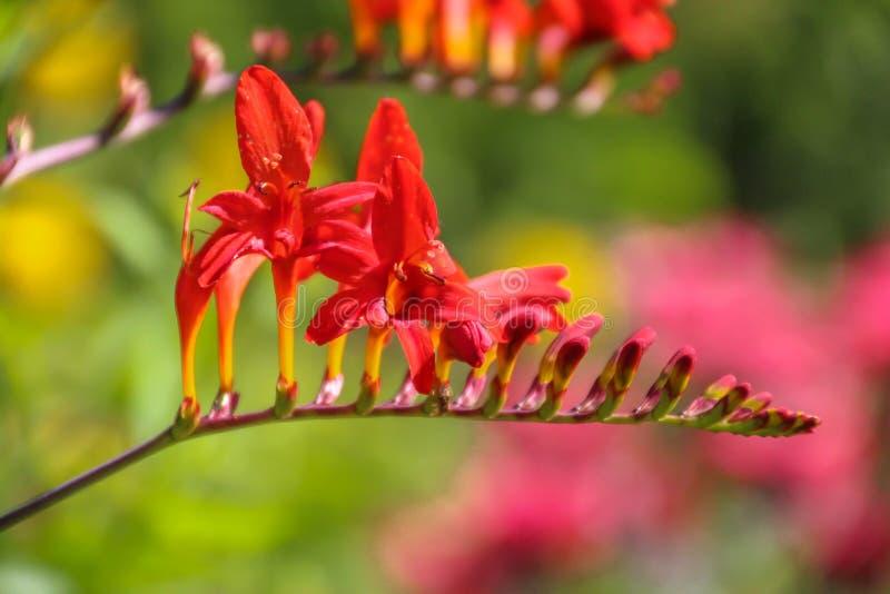 Zamyka w górę widoku genialni szkarłatnoczerwoni kwiaty Crocosmia «Lucifer «Montbretia, w irysowej rodziny Iridaceae w pełnym kwi zdjęcia royalty free