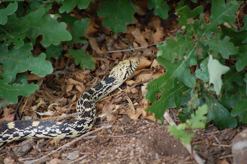 Zamyka W górę widoku Gopher wąż (Pituophis Catenifer) zdjęcie stock