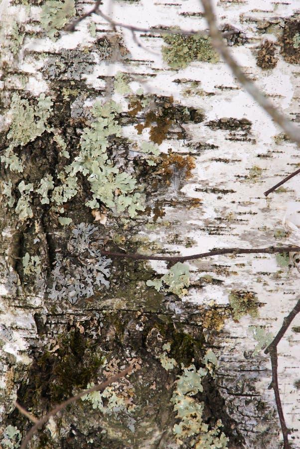 Zamyka w górę widoku jasnozielony liszaj i mech na białej brzozy drzewnym bagażniku w Minnestoa fotografia stock
