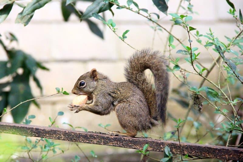 Zamyka w górę widoku mała wiewiórka drzewo zdjęcie stock