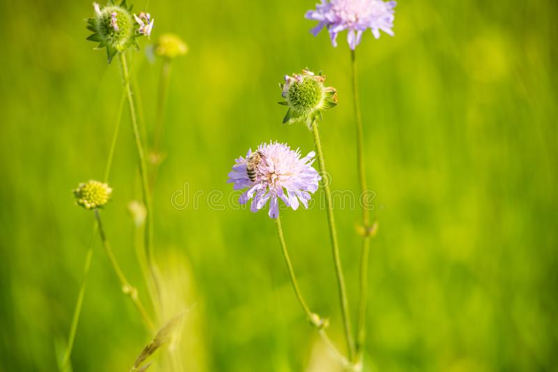 Zamyka w górę widoku pszczoła na dzikim kwiacie fotografia stock