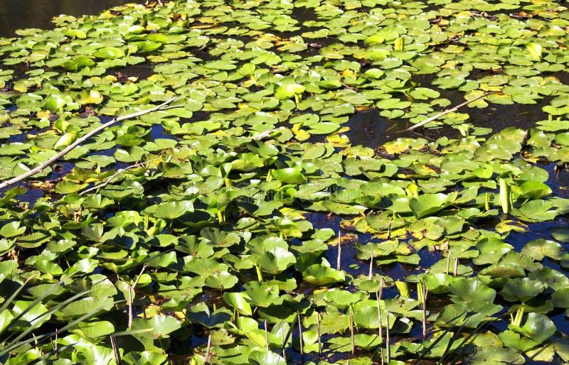 Zamyka w górę widoku wodnych leluj Nymphaea obrazy stock