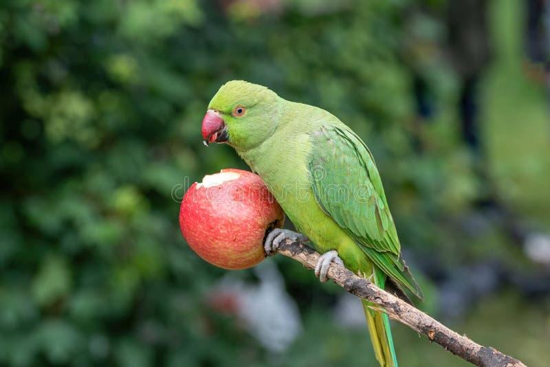 Zamyka w górę widoku zielony upierścieniony Psittacula krameri parakeet fotografia royalty free