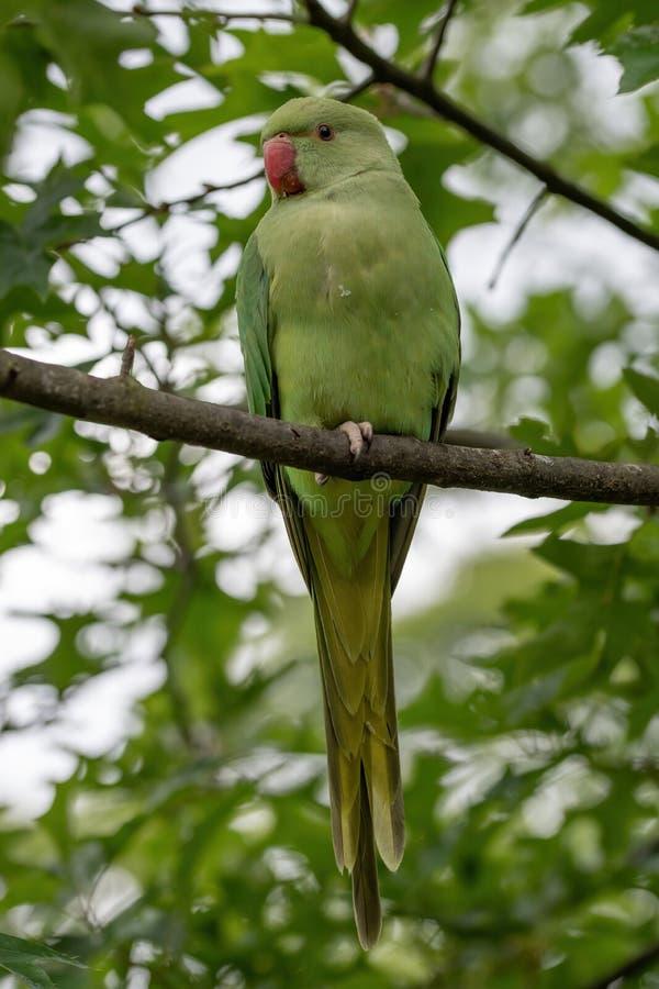 Zamyka w górę widoku zielony upierścieniony Psittacula krameri parakeet obrazy stock