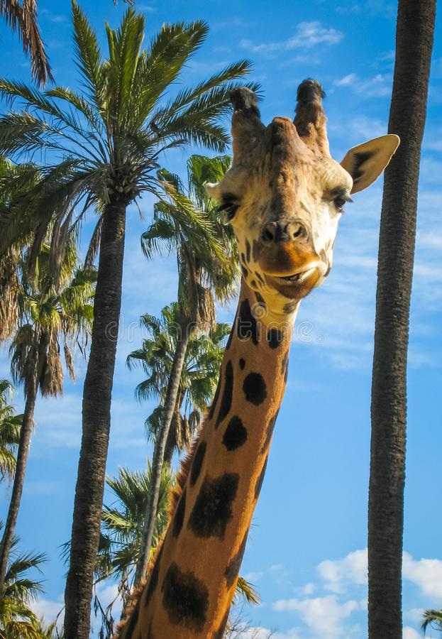 Zamyka w górę wizerunku żyrafa, Grecja obrazy royalty free