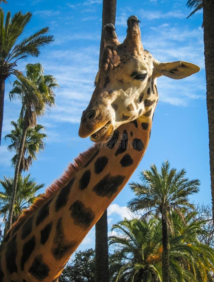 Zamyka w górę wizerunku żyrafa, Grecja obraz royalty free